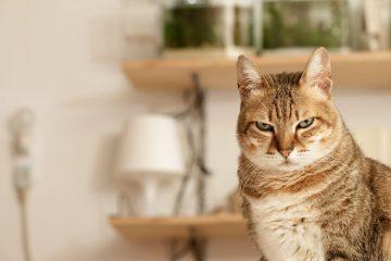 Топ-5 самых умных пород кошек в мире