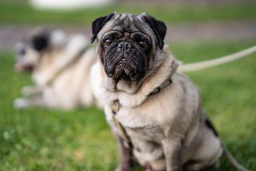 Топ-10 собак-компаньонов для пожилого человека