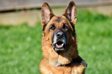 6 пород собак, которых можно не опасаться на улице