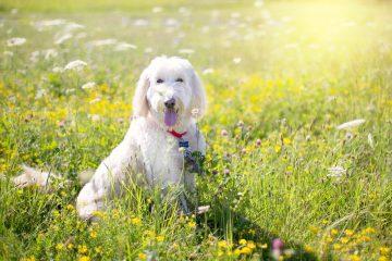 Породы собак, которые не линяют и не пахнут
