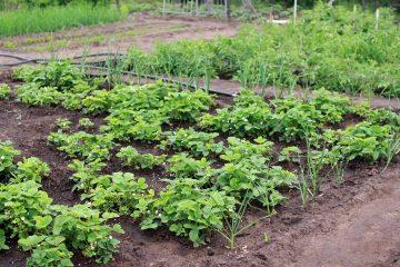 Врачи назвали самый полезный продукт, растущий на каждой даче