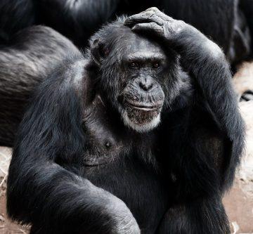 В Китае создадут гибрид человека и обезьяны