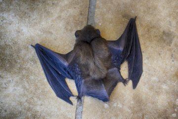 В Сибири завершили исследование по поиску коронавируса у летучих мышей