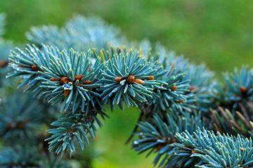 Ученые из Сибири нашли причину голубого цвета елей