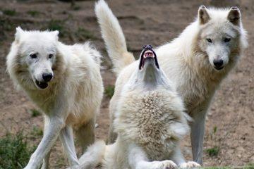 Первые одомашненные волки обнаружены впещерах Гнирсхёле вГермании